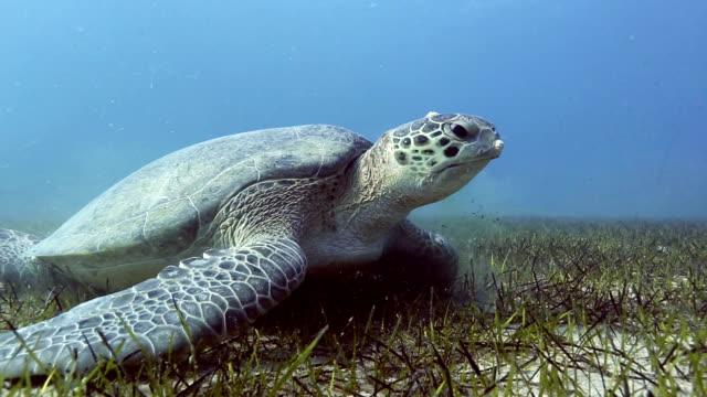 meeresschildkröte auf blauem hintergrund - mittelmeer stock-videos und b-roll-filmmaterial