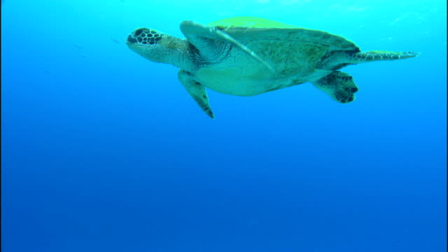 a sea turtle slowly swims near the ocean's surface. - chelonioidea stock-videos und b-roll-filmmaterial