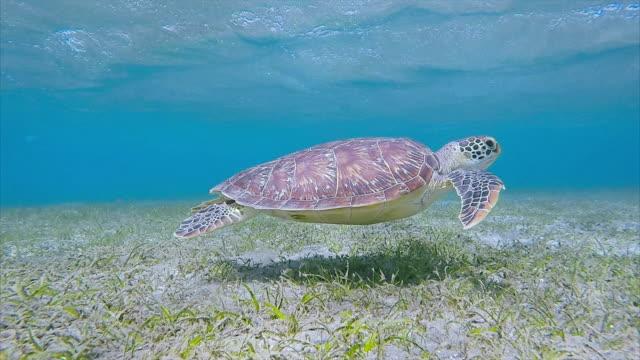 Meeresschildkröten schwimmen über Seegras-Bett / Marsa Alam