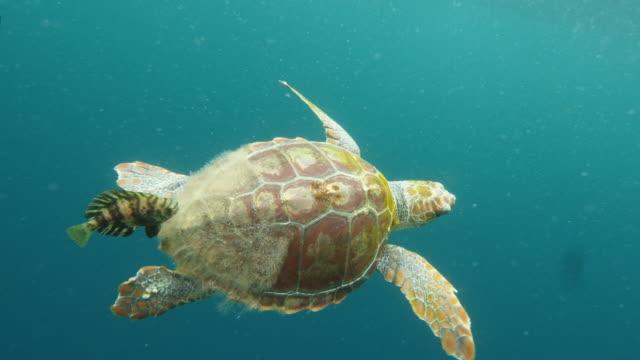 sea turtle swimming along fish in blue sea, person filming marine wildlife in ocean - azores, portugal - loggerhead sea turtle stock videos & royalty-free footage