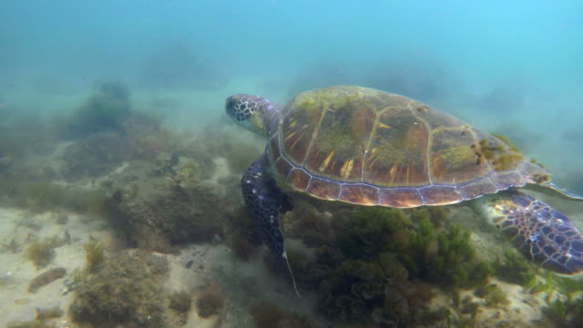 sea turtle swimming at nelson bay - sea grass plant stock videos & royalty-free footage