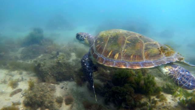 meeresschildkröten schwimmen in nelson bay - seegras segge stock-videos und b-roll-filmmaterial