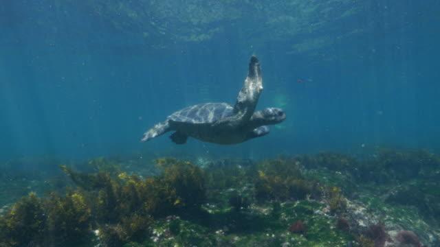 vídeos de stock, filmes e b-roll de tartaruga marinha nadando no submarino seagrass prado, galápagos - fundo do mar