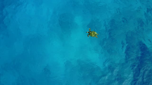 sea turtle swimming below vantage of drone off maui coast - turtle bay hawaii stock videos & royalty-free footage