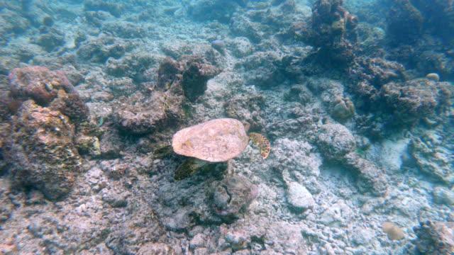 sea turtle swimming in the sea - loggerhead sea turtle stock videos & royalty-free footage