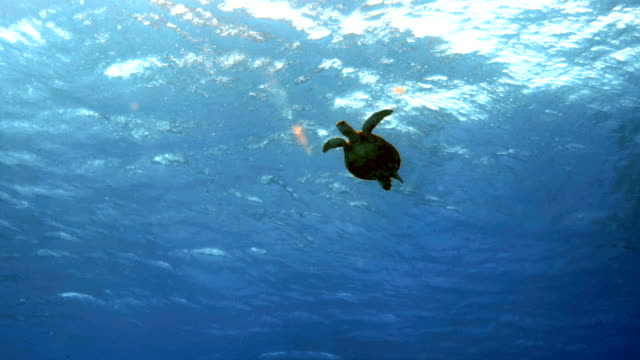 sea turtle swimming near sun-lit water's surface - chelonioidea stock-videos und b-roll-filmmaterial