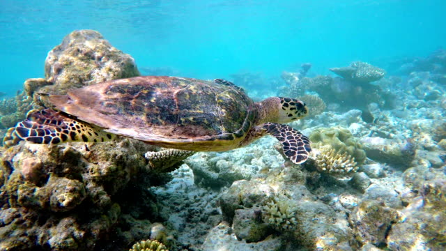 Sea turtle swimming on coral reef