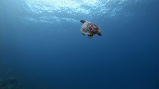 sea turtle (chelonioidea) swimming over coral / tonga, south pacific - 水生生物 個影片檔及 b 捲影像