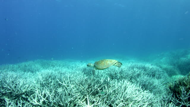 Sea turtle swimming over vast bleached coral reef in slow motion
