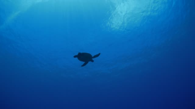 Sea turtle swimming to water surface