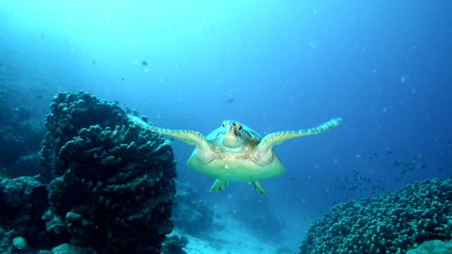 sea turtle swimming towards camera and then swimming away - tropischer fisch stock-videos und b-roll-filmmaterial