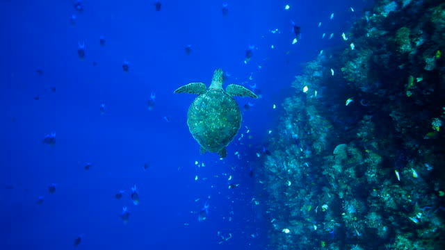 vídeos de stock, filmes e b-roll de a sea turtle swimming under the sea - deep sea diving