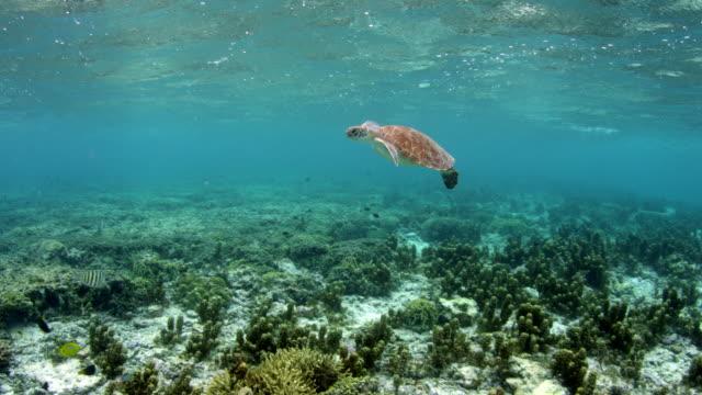 Sea turtle swimming underwater over reef