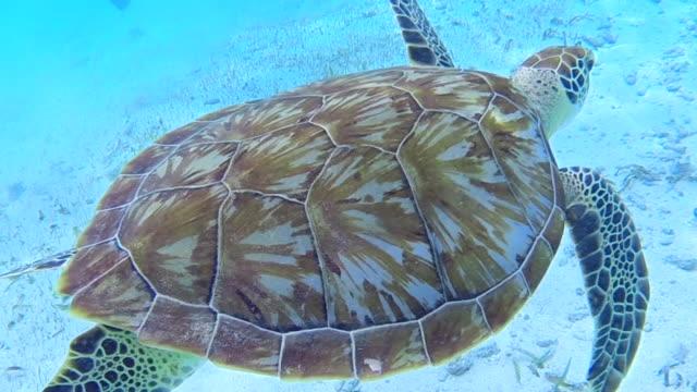 Sea turtle swims around female in bikini in the Caribbean Sea