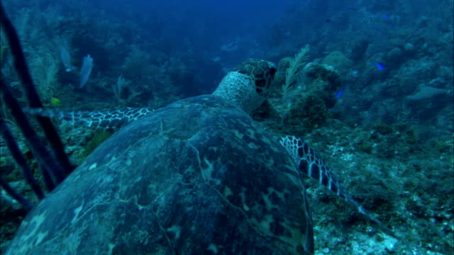 a sea turtle swims gracefully along the sea bottom. - chelonioidea stock-videos und b-roll-filmmaterial