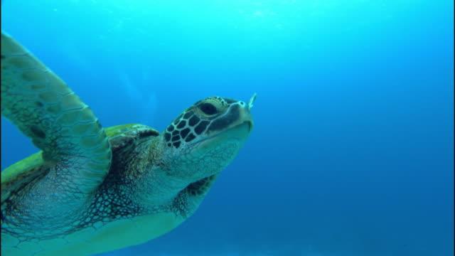 vídeos de stock e filmes b-roll de a sea turtle swims gracefully in bright blue water. - tartaruga