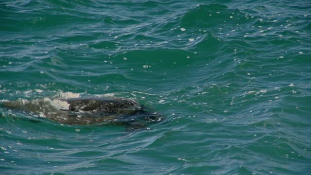 A sea turtle swims in a choppy ocean.