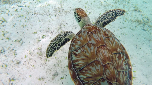 CU sea turtle swims in Caribbean Sea
