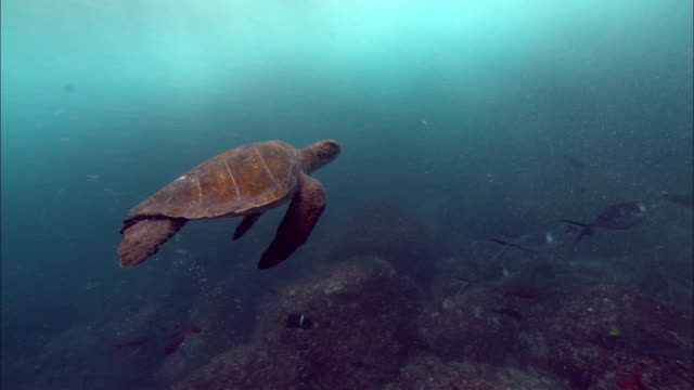 a sea turtle swims in the galapagos islands. available in hd. - green turtle stock videos and b-roll footage