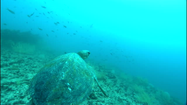 a sea turtle swims over a coral embankment. - sea grass plant点の映像素材/bロール