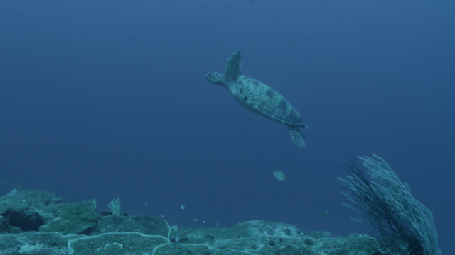sea turtle swims over coral reef, fiji - chelonioidea stock-videos und b-roll-filmmaterial
