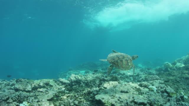 vídeos de stock e filmes b-roll de sea turtle swims over reef - fundo do mar