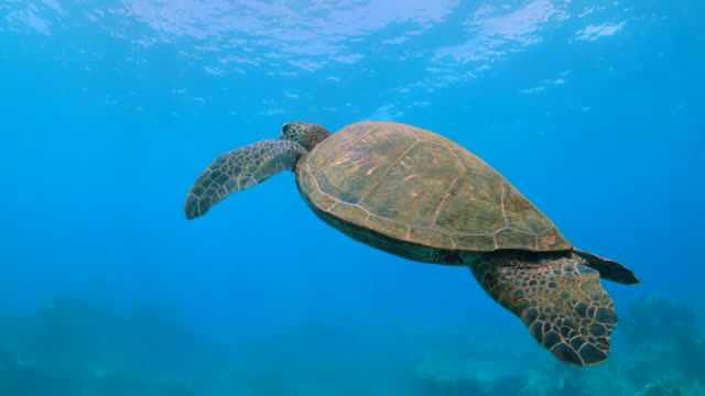 sea turtle swims up from coral reef toward surface in maui, hi - turtle shell stock videos & royalty-free footage