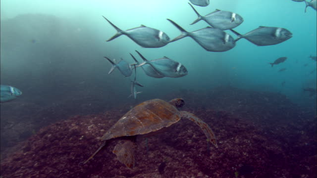 a sea turtle swims with a school of silvery fish. available in hd. - green turtle stock videos and b-roll footage