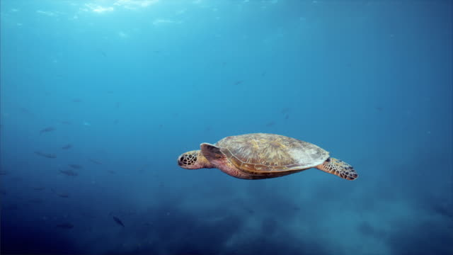 stockvideo's en b-roll-footage met sea turtle under blue ocean at balicasag island in bohol philippines - schildpad