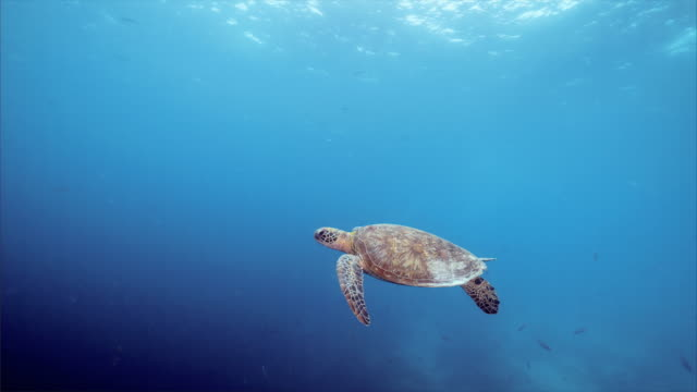 sea turtle under blue ocean at balicasag island in bohol philippines - testuggine video stock e b–roll