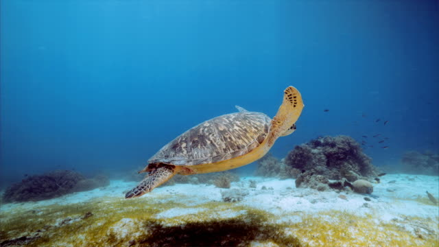 Sea turtle under water at Balicasag Island in Bohol Philippines
