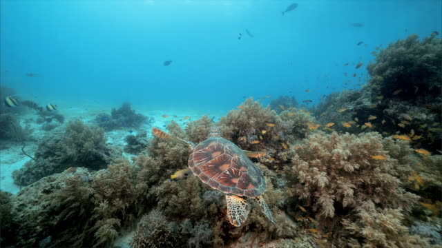 vidéos et rushes de sea turtle under water at balicasag island in bohol philippines - tortue