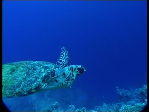 vidéos et rushes de sea turtle - underwater, ms turns around in blue water above reef & moves slowly away above reef, bleached coral in foreground - culture méditerranéenne