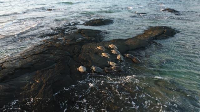 vídeos de stock e filmes b-roll de sea turtle - big island ilhas do havai