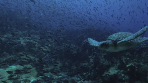 sea turtle - galapagos islands stock videos & royalty-free footage