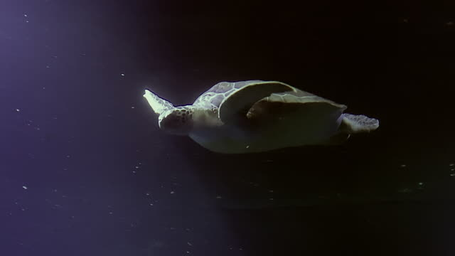 havssköldpaddor som simmar i havet - sköldpadda bildbanksvideor och videomaterial från bakom kulisserna