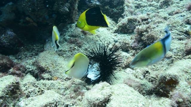 sea urchin being devoured. - rückenflosse stock-videos und b-roll-filmmaterial
