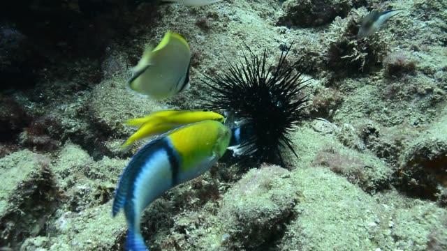 sea urchin being devoured. - エンゼルフィッシュ点の映像素材/bロール