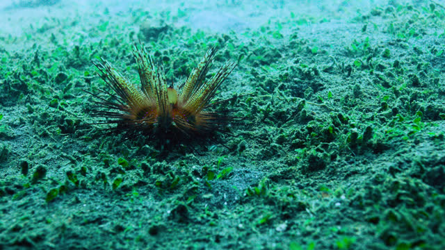 """sea urchin crawls over sea bed, sulawesi. - """"bbc natural history"""" stock videos & royalty-free footage"""