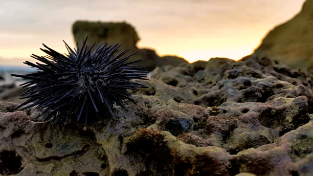 sea urchin in canoa beach ecuador with rocks - sea urchin stock videos and b-roll footage