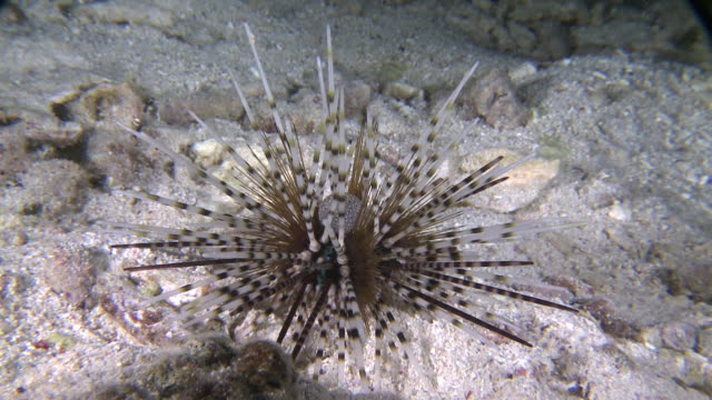 sea urchin moving across sea floor, southern visayas, philippines - appuntito video stock e b–roll