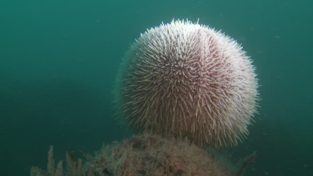 sea urchin off lundy island - ricci di mare video stock e b–roll