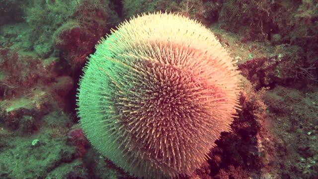sea urchin.  pembrokeshire, wales, uk - pembrokeshire stock videos & royalty-free footage