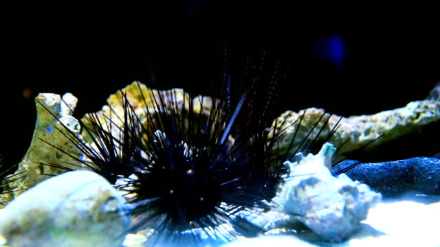 sea urchin - ricci di mare video stock e b–roll