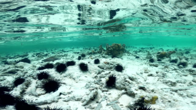 sea urchins and starfish on indian ocean floor - ricci di mare video stock e b–roll