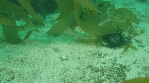 vídeos y material grabado en eventos de stock de sea urchins eating kelp - kelp