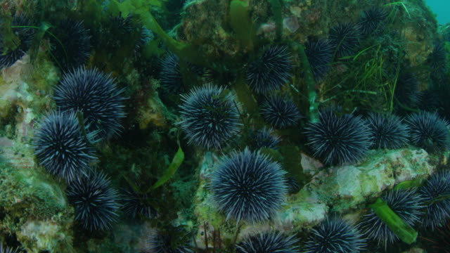 sea urchins on rocks feeding on kelp - ricci di mare video stock e b–roll