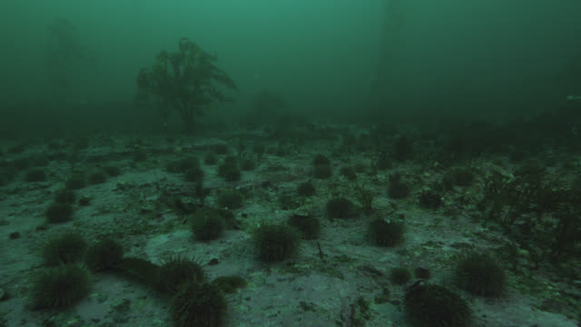 sea urchins on sea bed in kelp forest, falkland islands - ricci di mare video stock e b–roll