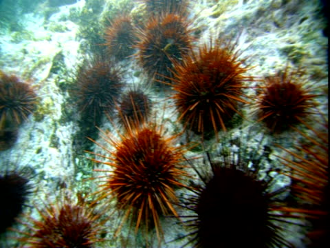 sea urchins surround a strand of seaweed on the ocean floor. - sea urchin stock videos and b-roll footage