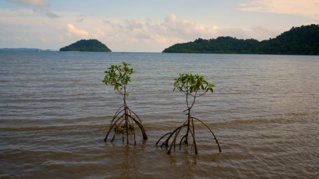 sea view small mangrove tree - mangrove forest stock videos & royalty-free footage